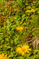 Doronicum clusii - PhotoDune Item for Sale