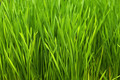 Wheatgrass - PhotoDune Item for Sale