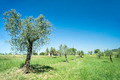 Olive tree in Italy - PhotoDune Item for Sale