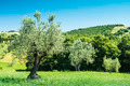 Olive trees in Italy - PhotoDune Item for Sale