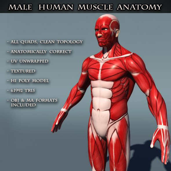 3DOcean Human Male Muscle Anatomy 8246012