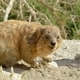 Syrian rock Hyrax - PhotoDune Item for Sale