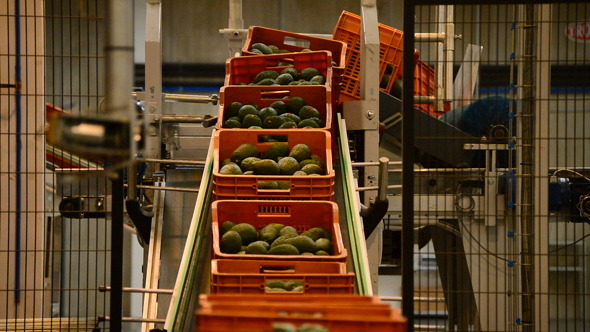 Boxes Avocados in Linepack