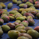 Mangoes Fruit in Line Industrial - VideoHive Item for Sale