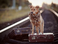 Red dog on rails with suitcases. - PhotoDune Item for Sale
