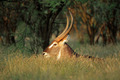 Waterbuck bull - PhotoDune Item for Sale