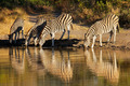 Plains Zebras drinking - PhotoDune Item for Sale