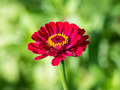 Red Zinnia Elegans - PhotoDune Item for Sale