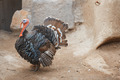 Turkey cock - PhotoDune Item for Sale