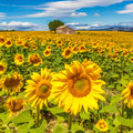 Beautiful landscape with sunflower field - PhotoDune Item for Sale