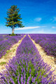 Lavender field in Provence - PhotoDune Item for Sale