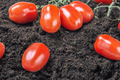 ripe red tomato on the ground - PhotoDune Item for Sale