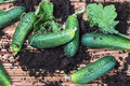 freshly picked cucumbers - PhotoDune Item for Sale