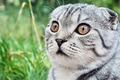 portrait of a Scottish Fold - PhotoDune Item for Sale