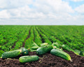 freshly picked cucumbers on the ground - PhotoDune Item for Sale
