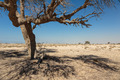 Lonely dead tree in the desert near Dubai - PhotoDune Item for Sale