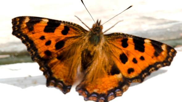 Butterfly On Windowsill