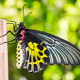 Female golden birdwing butterfly - PhotoDune Item for Sale