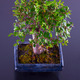 Bonsai - PhotoDune Item for Sale