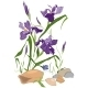 Hand Drawn Iris Blooms - GraphicRiver Item for Sale