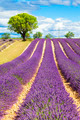 Lavender field with tree - PhotoDune Item for Sale