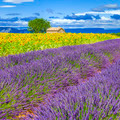 Lavender and sunflower field - PhotoDune Item for Sale