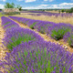 Lavender country - PhotoDune Item for Sale