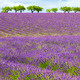 Lavender field with cloudy sky - PhotoDune Item for Sale