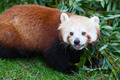 Nepalese Red Panda Eating - PhotoDune Item for Sale