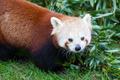 Nepalese Red Panda - PhotoDune Item for Sale