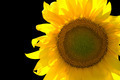 Sunflower isolated on black background - PhotoDune Item for Sale