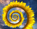 Sunflower spiral - PhotoDune Item for Sale