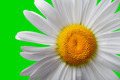White chamomile on green background - PhotoDune Item for Sale
