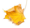 Autumn yellow maple leaf - PhotoDune Item for Sale