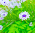 daisy on a meadow - PhotoDune Item for Sale