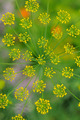 inflorescence of dill - PhotoDune Item for Sale