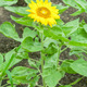 Sun flowers - PhotoDune Item for Sale