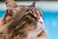 Maine Coon Cat Closeup - PhotoDune Item for Sale
