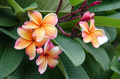 Plumeria. Beautiful pink inflorescence. - PhotoDune Item for Sale