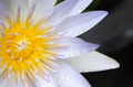 Closeup of a lotus blossom - PhotoDune Item for Sale