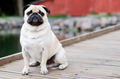 Pug sitting in front outdoors - PhotoDune Item for Sale