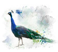 Watercolor Image Of Peacock - PhotoDune Item for Sale