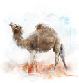 Watercolor Image Of  Single-Humped Camel - PhotoDune Item for Sale