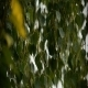 Wet Birch Leaves In The Wind 02 - VideoHive Item for Sale