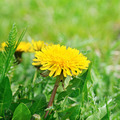 dandelions on a green meadow - PhotoDune Item for Sale