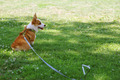 Friendly Pembroke Corgi Tied to Stake in Park - PhotoDune Item for Sale