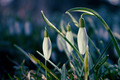 Snowdrops - PhotoDune Item for Sale