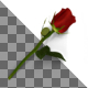 3D Render of Red Rose - GraphicRiver Item for Sale
