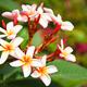 Frangipani flowers. - PhotoDune Item for Sale