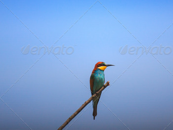 European Bee-eater - PhotoDune Item for Sale
